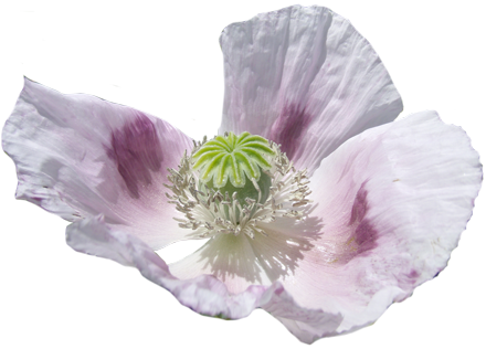 Image of a poppy